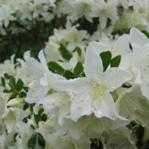Vrtnarstvo Breskvar - Rhododendron Palestrina