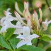 Vrtnarstvo Breskvar - Rhododendron Viscosum