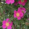 Vrtnarstvo Breskvar - Rosa nitida