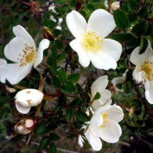 Vrtnarstvo Breskvar - Rosa pimpinellifolia