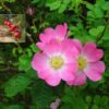 Vrtnarstvo Breskvar - Rosa rubiginosa