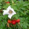 Vrtnarstvo Breskvar - Rosa rugosa Alba