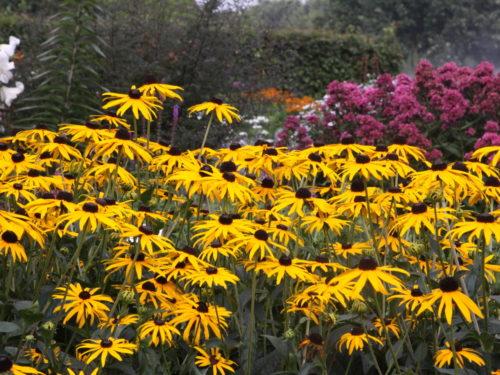 Vrtnarstvo Breskvar - Rudbeckia fulgida sullivantii Goldsturm