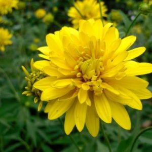 Vrtnarstvo Breskvar - Rudbeckia laciniata Goldquelle