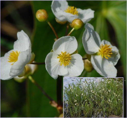 Vrtnarstvo Breskvar - Sagittaria latifolia