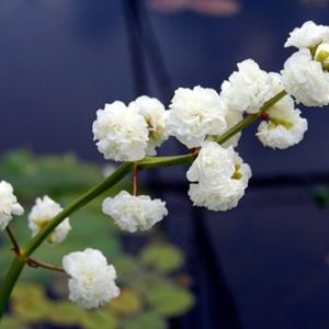 Vrtnarstvo Breskvar - Sagittaria latifolia Plena