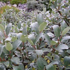 Vrtnarstvo Breskvar - Salix helvetica