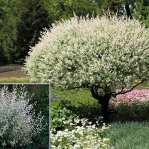 Vrtnarstvo Breskvar - Salix integra Hakuro-Nishiki