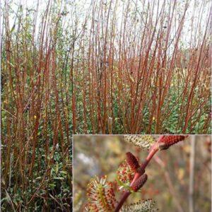 Vrtnarstvo Breskvar - Salix purpurea