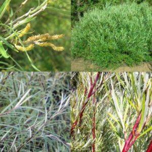Vrtnarstvo Breskvar - Salix rosmarinifolia