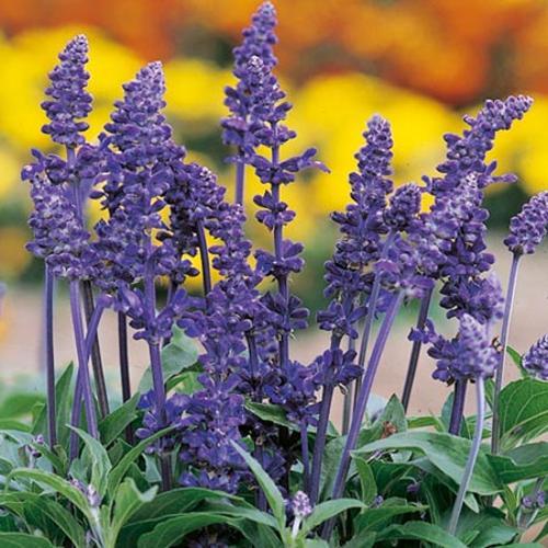 Vrtnarstvo Breskvar - Salvia farinacea