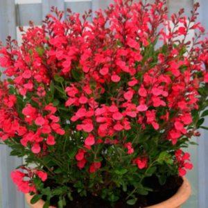 Vrtnarstvo Breskvar - Salvia Jamensis Flammenn