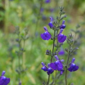Vrtnarstvo Breskvar - Salvia microphylla Blue Vivisal