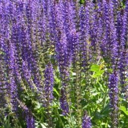 Vrtnarstvo Breskvar - Salvia nemorosa Mainacht