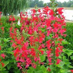 Vrtnarstvo Breskvar - Salvia oceana Red
