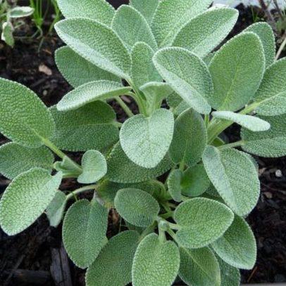 Vrtnarstvo Breskvar - Salvia Officinalis Culinaria