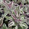 Vrtnarstvo Breskvar - Salvia officinalis Tricolor