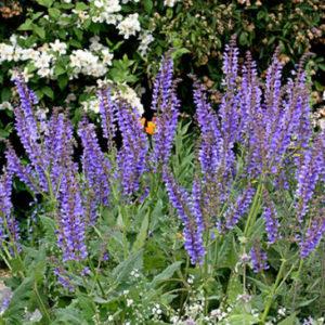 Vrtnarstvo Breskvar - Salvia transsylvanica
