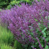 Vrtnarstvo Breskvar - Salvia verticillata Purple Rain