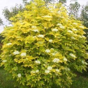 Vrtnarstvo Breskvar - Sambucus racemosa Plumosa Aurea