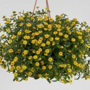 Vrtnarstvo Breskvar - Sanvitalia speciosa