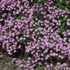 Vrtnarstvo Breskvar - Saponaria ocymoides