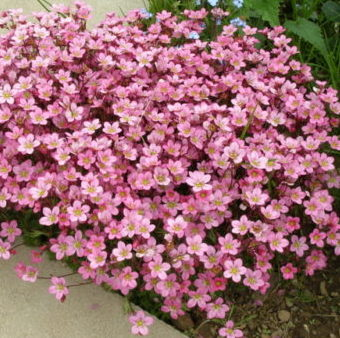 Vrtnarstvo Breskvar - Saxifraga arendsii Highlander
