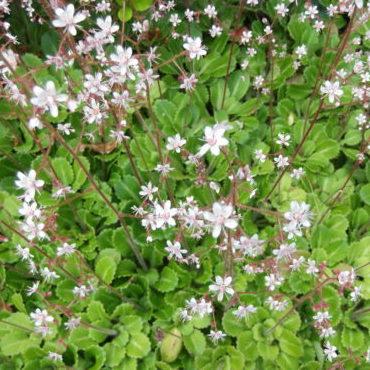 Vrtnarstvo Breskvar - Saxifraga urbium