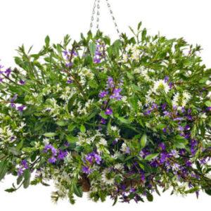 Vrtnarstvo Breskvar - Scaevola aemula