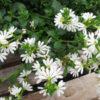 Vrtnarstvo Breskvar - Scaevola Surdiva White Improved