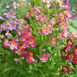 Vrtnarstvo Breskvar - Schizanthus wisetonensis