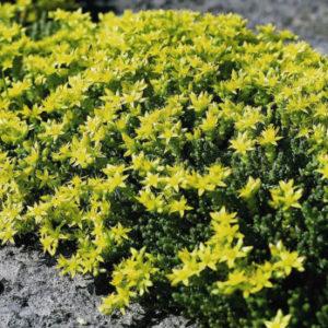 Vrtnarstvo Breskvar - Sedum acre Aureum