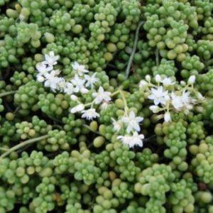 Vrtnarstvo Breskvar - Sedum Album Cloroticum