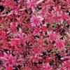 Vrtnarstvo Breskvar - Sedum album Coral Carpet