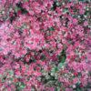 Vrtnarstvo Breskvar - Sedum cauticolum Robustum