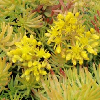 Vrtnarstvo Breskvar - Sedum sedioforme Gold