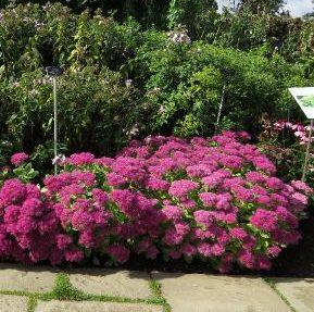 Vrtnarstvo Breskvar - Sedum spectabile Brillant
