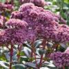Vrtnarstvo Breskvar - Sedum telephium Matrona