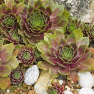 Vrtnarstvo Breskvar - Sempervivum tectorum