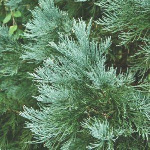 Vrtnarstvo Breskvar - Sequoiadendron