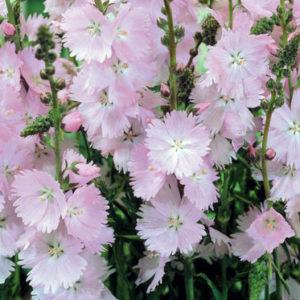 Vrtnarstvo Breskvar - Sidalcea malviflora Rosaly