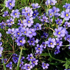 Vrtnarstvo Breskvar - Sisyrinchium angustifolium