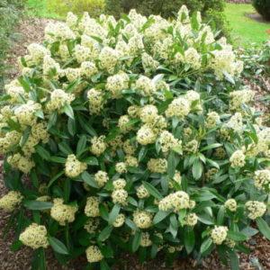 Vrtnarstvo Breskvar - Skimmia confusa Kew Green
