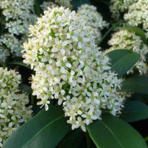 Vrtnarstvo Breskvar - Skimmia japonica Finchy