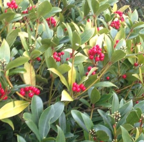 Vrtnarstvo Breskvar - Skimmia japonica Pabella