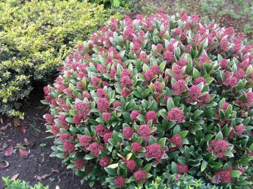 Vrtnarstvo Breskvar - Skimmia japonica Rubella