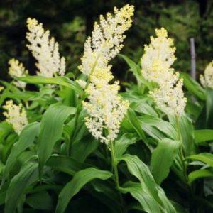Vrtnarstvo Breskvar - Smilacina racemosa