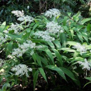 Vrtnarstvo Breskvar - Smilacina stellata