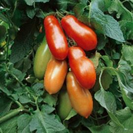 Vrtnarstvo Breskvar - Solanum lycopersicum Adamo Green F1