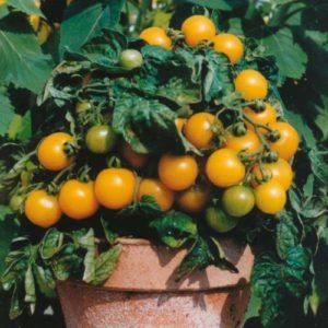 Vrtnarstvo Breskvar - Solanum lycopersicum Balcony Yellow